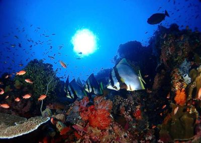 marine-life-diving-mikumba-pygmy-diving-misool-indonesia-dive-great-expedition-best-diving-in-indonesia-raja-ampat-komodo-alor