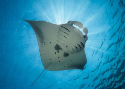 best diving in indonesia manta rays