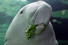 Fish Facts: Dugongs