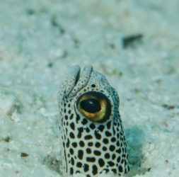 Fish Facts: Spotted Garden Eel
