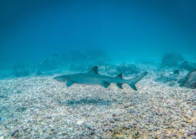 whitetip-shark-diving-in-komodo-daytrip-budget-liveaboard-in-komodo
