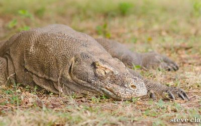 Komodo Dragon and Diving Trips