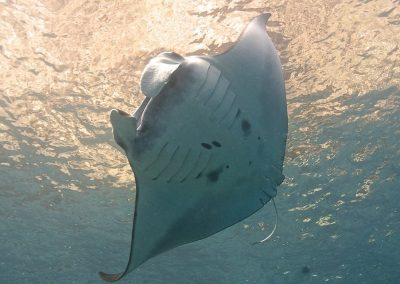 manta-diving-in-komodo-daytrip-budget-liveaboard-in-komodo