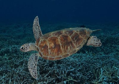 turtle-komodo-daytrip-liveaboard-dive-center-labuan-bajo