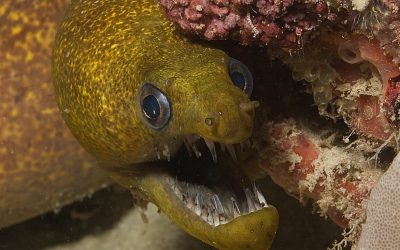 Fish Facts: Moray Eels